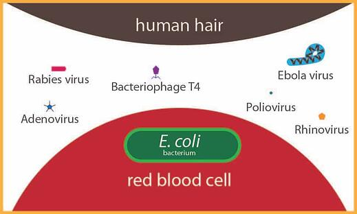 Sizesofmicroorganisms-01-01-01